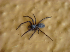 Furry Spider - m