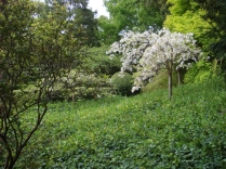 Lone Cherry Blossoms - m