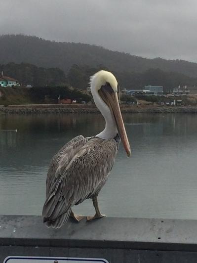 Pelican at Half Moon Bay
