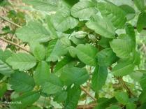 Poison Oak 2 - m