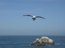 Seagull Approaching - 705