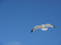 Seagull Over Head - m
