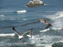 Seagulls 2 - no bread - 705