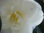 Spider on Rose Bush - m