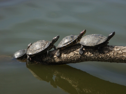 Turtles on Log - m