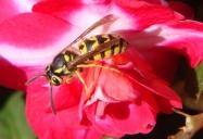 Wasp - crop 1 - m